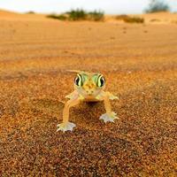 Web-footed Gecko, Palmatogecko (Pachydactylus rangei) photo