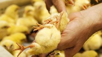 Chick quality check photo