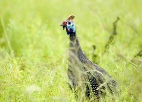 Guinea fowl, Kruger National Park, South Africa