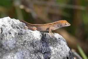 Brown Anole Lizard (Anolis sagrei) photo