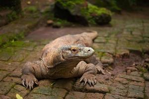 Huge dragon of Komodo