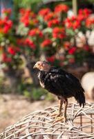 Thai baby gamecock