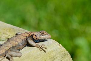 Brown lizard lying in the sun.