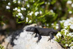 lagarto en una roca en sudáfrica foto