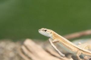 Japanese grass lizard ニホンカナヘビ