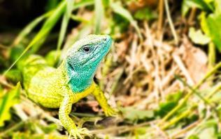 European Green Lizard photo