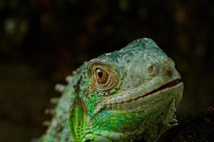 retrato sobre uma iguana verde