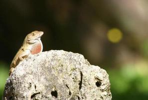 lagarto en roca hinchando la garganta foto