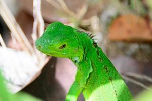 iguana bebê verde