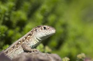 Sand lizard (Lacerta agilis) female photo