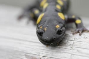 observador salamandra close-up