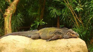 Big monitor lizard photo