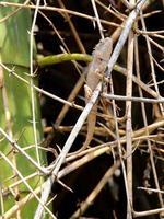 camaleón en bambú