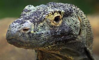 Komodo dragon photo