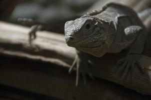 retrato de un lagarto foto