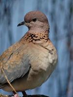 Little Dove photo