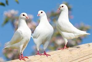 Tres palomas blancas sobre fondo de floración