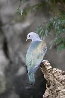 colombe, luzon saignement-coeur (gallicolumba luzonica)
