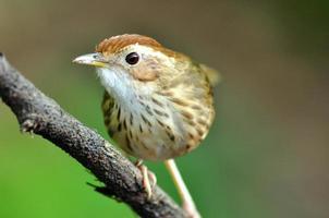 Puff - throated Babbler photo
