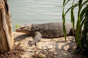 hermoso monitor lagarto inthailand foto