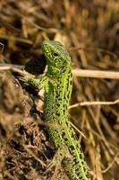 Sand Lizard, Lacerta agilis photo