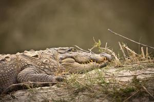 overvaller krokodil portret specie crocodilus palustris, bardia national park, nepal