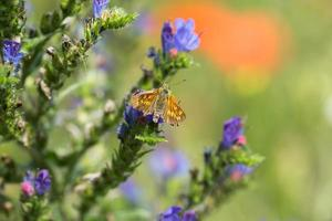 patrón mariposa, hesperiidae en blueweed foto