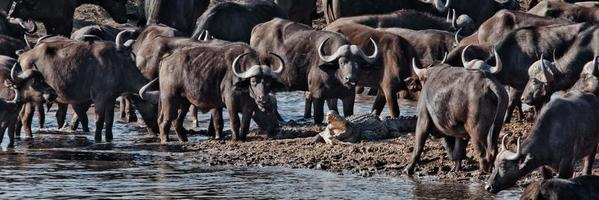 Buffalos vs Crocodile