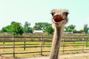 Cutey Ostrich