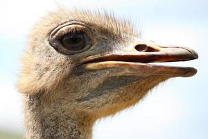 Close-up head shot of one Ostrich