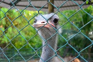 ostrich in cage