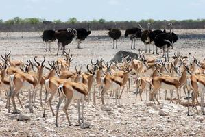 Springboks and ostriches