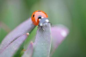 Ladybug in Macro