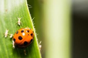 extra soft focus ladybug macro on green leaf