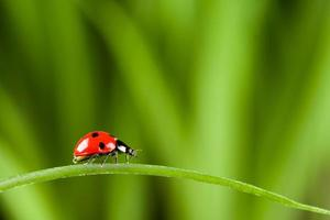 Ladybug on Grass Over Green Bachground photo