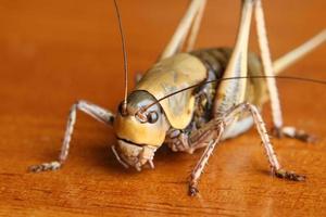 Mormon Cricket on Hardwood