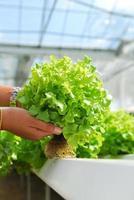 roble rojo, roble verde, cultivo hidropónico vegetal verde en f