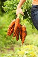 Handful of large orange organic carrots with greens attached photo