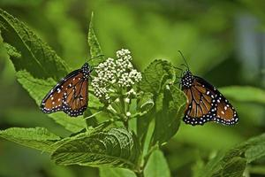 Two Monarch butterflies (Danaus Plexippus) on white flower