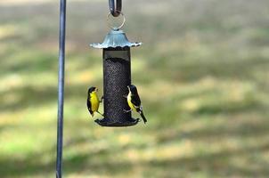 Lesser Goldfinch on Thistle Feeder