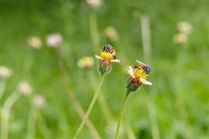 Two Bee on the tridax procumbens photo