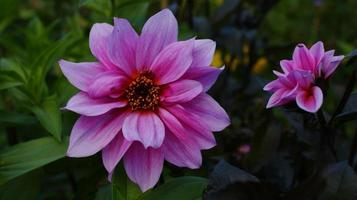Two pink flowers in garden photo
