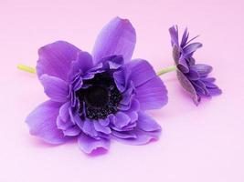 hermosa anémona púrpura foto