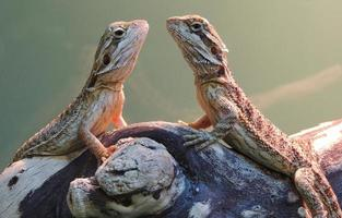 Two Bearded Dragons: face to face