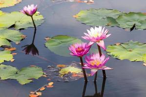 flor de loto y plantas de flor de loto