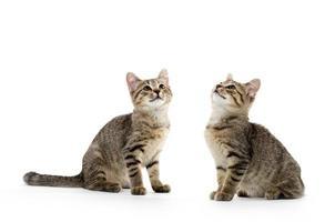 Two tabby kittens