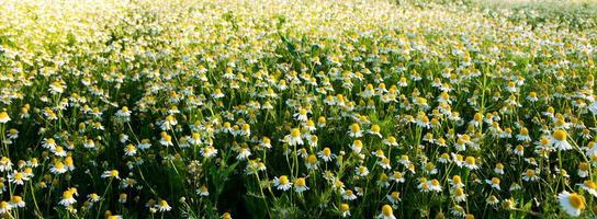 Field of camomile flowers. Flower texture