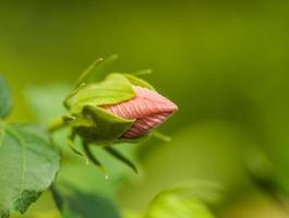 flores de hibisco