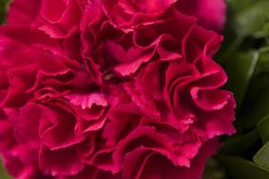 red carnation, close up photo
