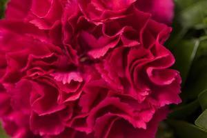 clavel rojo, de cerca foto
